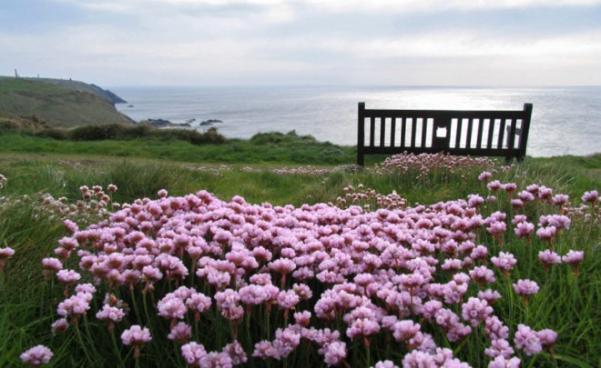 sea-thrift-on-the-cornwall-coast
