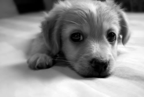 animal-black-and-white-cute-dog-puppy-image-308734-on-favim-com-white-and-black-dogs