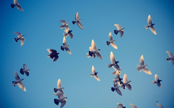 animal-wallpaper-with-a-group-flying-doves.jpg