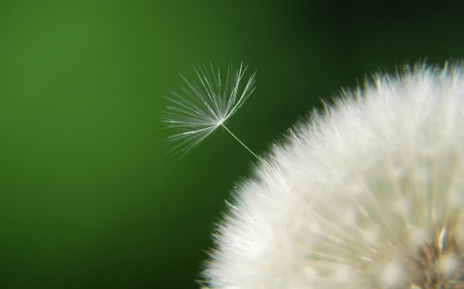 awesome-dandelion-seeds-wallpaper-1
