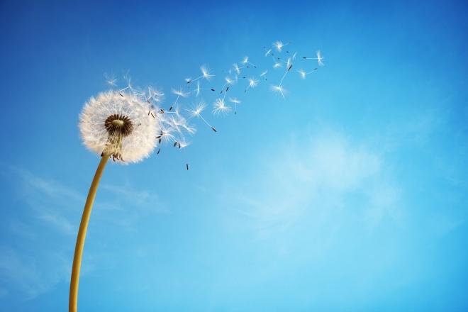 dandelion-flower-4000x2667-florets-blue-sky-4k-4837