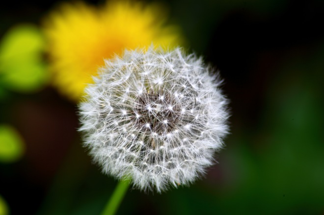 Dandelion-macro_-_Virginia_-_ForestWander